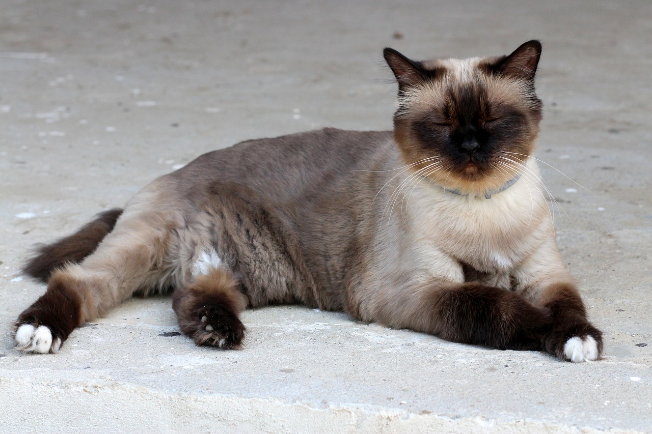 Cat Breeds from around the world Asia lovecats