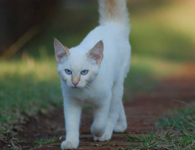 white cat walks along path