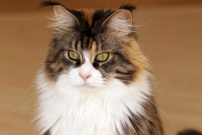 friendly personality Maine Coon cat