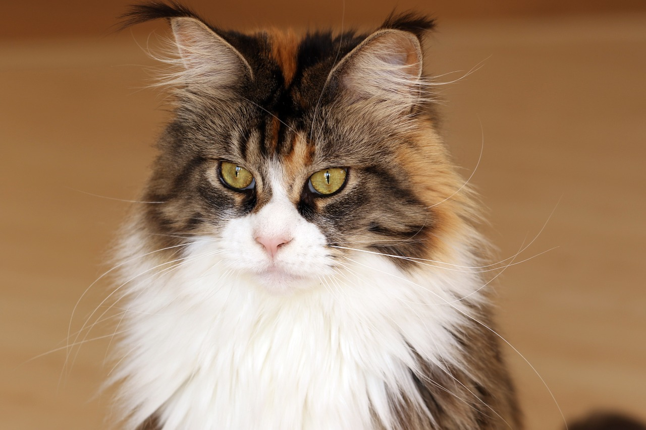 Which cat breed to choose cat personalities lovecats