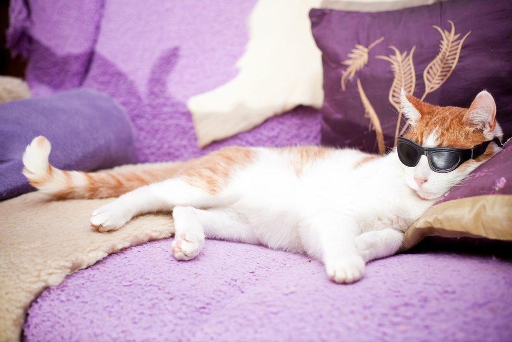 Ginger and white cat sleeping with sunglasses on.