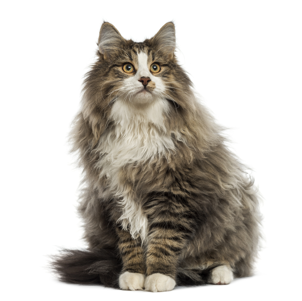 Cat breeds from around the world Europe and Russia lovecats