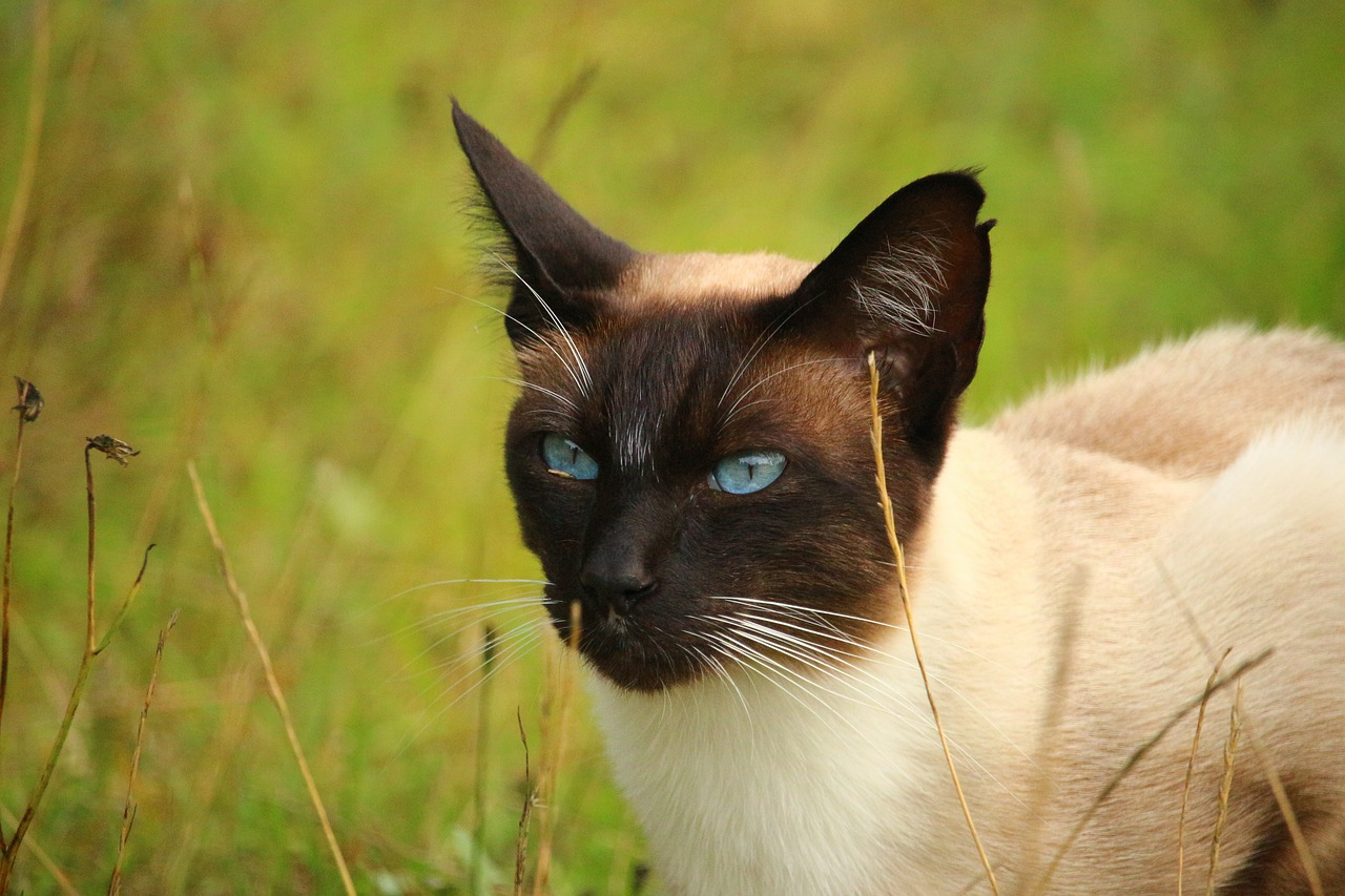 cat breeds Archives lovecats