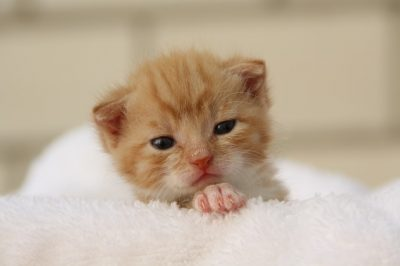 Tiny ginger kitten
