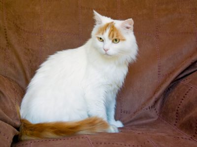 Turkish Van cat showing colours