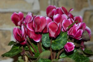 cyclamen toxic plant to cats