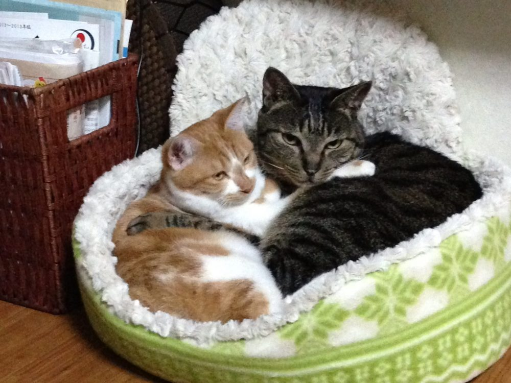 ginger and tabby cat cuddling up in bed