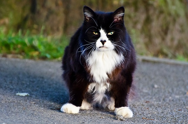 Older black and white cat
