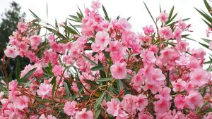 oleander plant toxic to cats