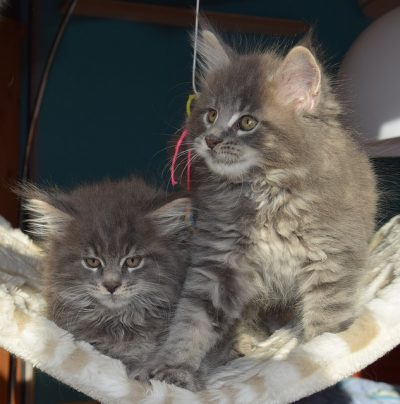 grey persian kittens
