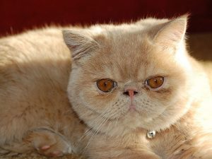 Persian cat with orange eyes