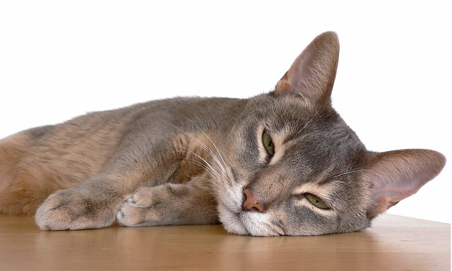 Abyssinian cat lying down