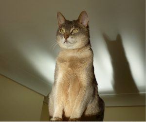 abyssinian cat sitting up