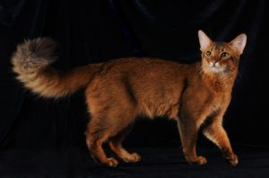 somali cat with a ruddy brown coat