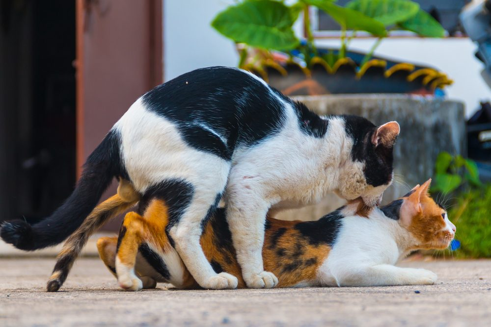 Why Do Female Cats Screech After Mating And Attack The Male