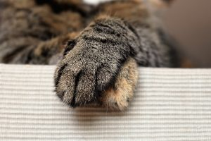 tabby cat crosses front paws