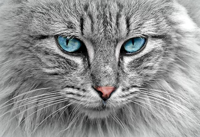 cats eyes blue