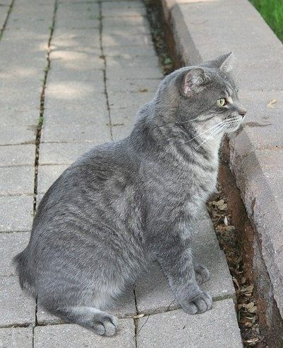 Manx cat with no tail